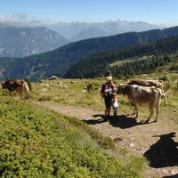 Walking with cows in Cavalese  - A trekking day together with cows in Val di Fiemme